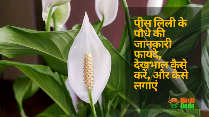Peace Lily Plant in hindi
