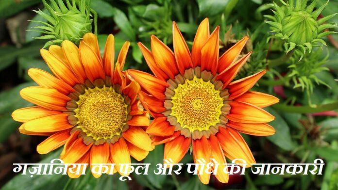 Gazania Flower in Hindi